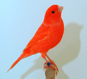 Red factor canary for sale.