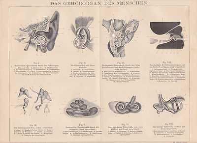 Ohr Gehörorgan Schnecke Labyrinth HOLZSTICH von 1884 HNO Gehörknöchelchen
