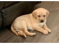 Outstanding Golden Labrador Pup