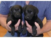 9 weeks old pedigree labrador pups