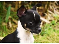 2 lovely chihuahua puppies left
