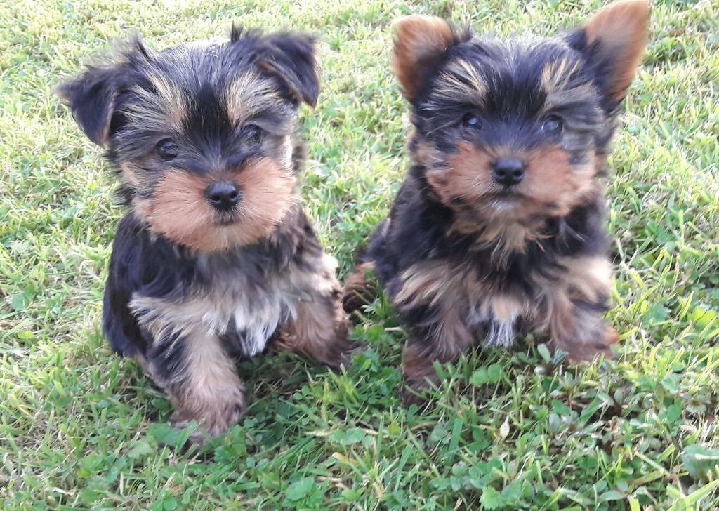 yorkie terrier mini mini yorkshire terrier puppies miniature yorkie can be 3389