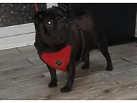 Beautiful Black Female Pug
