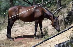 Stunning 16.2hh Allrounder Robina Gold Coast South Preview