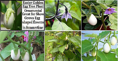 Golden Easter Egg Tree Plant   Very Unique Purple Flower Plant   10  Seeds  Golden Easter Egg