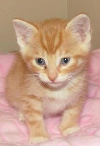 "Baby Male Cat - Tabby - Orange: ""Cooper"""