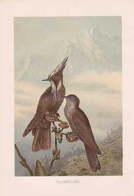 Helmkolibri Oxypogon guerinii Kolibris Kolibri Lithographie von 1890 Trochilidae