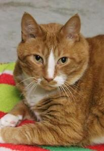 """Adult Male Cat - Domestic Short Hair-Tabby: """"Bacon"""""""