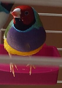 Gouldian Finches For Sale!