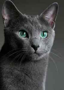 WANTED RUSSIAN BLUE