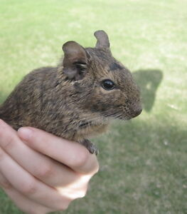 Lonely Degu for Sale