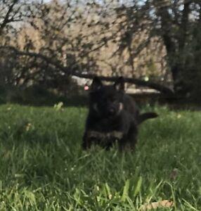 CKC Reg'd German Shepherd puppies