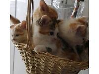 Beautiful Ginger White Tabby Tortoise Female Male Kittens