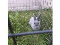 Escaped pet rabbit