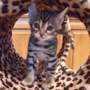 TOP  QUALITY Hypoallergenic LEOPARD BENGAL CUBS