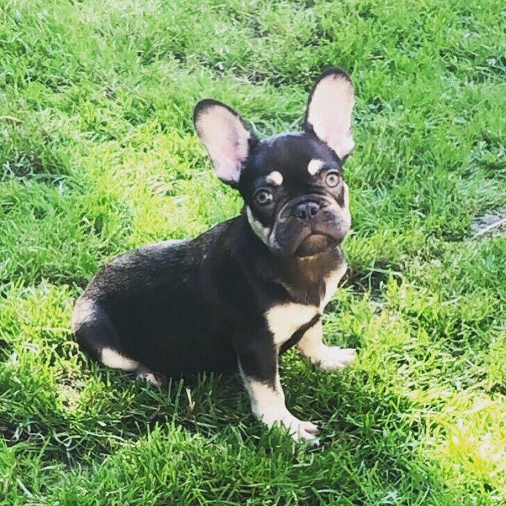 French bulldog puppy's Kc registered CHOC & TAN / LILAC | in Haslingden,  Lancashire | Gumtree