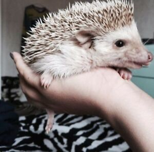 3 year old female hedgehog with cage and all accessories