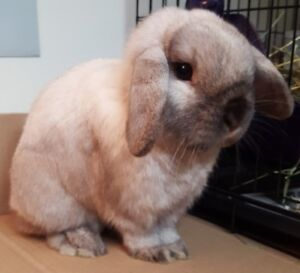 Downsizing sale on Holland Lops