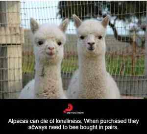 Alpacas/Need pasture space. Regina Regina Area image 10