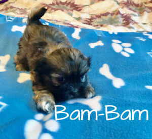 Shih Tzu | Adopt Dogs & Puppies Locally in Ontario | Kijiji Classifieds