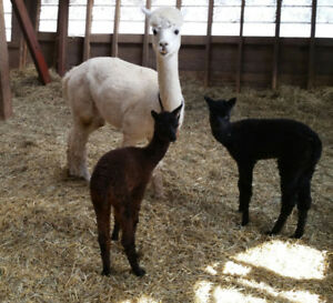 Dual Registered Female Alpaca with Twin Crias *RARE*