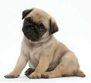 Looking for a Purebred Pug Puppy
