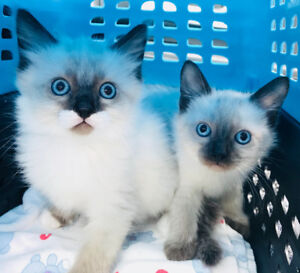 Softest fluffy kittens ever! Sweet baby faced Himi Ragdoll!