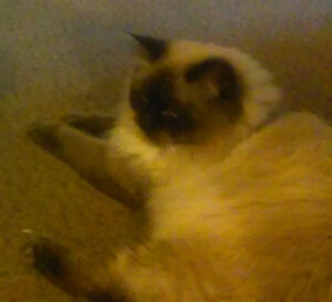 Pure Breed Himalayan Kittens -- DUE SOON--