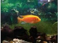 Malawi Cichlids orange