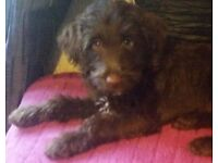 pick of the litter miniature double doodle labradoodle goldendoodle in cumbria