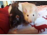 2 loving male rats in need of new home