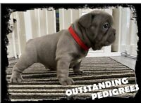 Outstanding Silver Blue Kc French Bulldog Puppies
