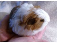 Guinea Pig - Baby Male For Sale