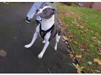 Femal Staffy for sale to good home 1 year old - £200