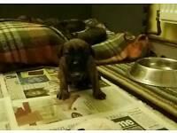 BOXER CROSS STAFF v STAFFY puppies