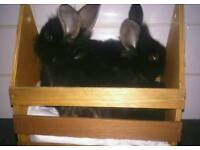 Lion lop baby rabbits ready now last 4