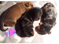 Stunning Dachshund Puppies