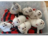 7 GORGEOUS RAGDOLL KITTENS FOR SALE