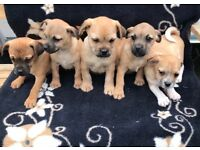 Beautiful Jug puppies for sale