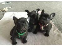French bulldog pups kc registered