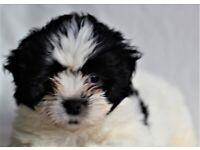 Zuchon puppies for sale.