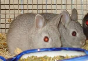 2 x Purebreed Netherland Dwarf babies. Villawood Bankstown Area Preview