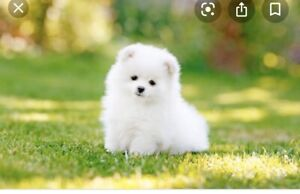 Wanted: Baby teacup Pomeranian puppy wanted