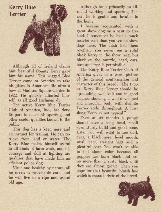 Kerry Blue Terrier - Vintage Dog Print - 1954 M. Dennis