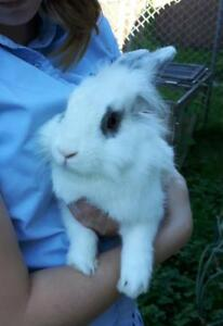 "Young Male Rabbit - Lionhead: ""Perry"""