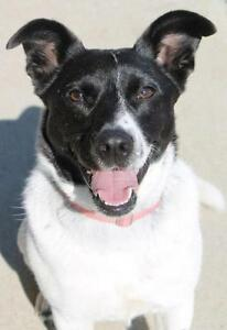 "Young Female Dog - Border Collie: ""Heidi"""