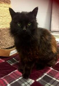 "Senior Female Cat - Domestic Long Hair-black: ""Samantha"""