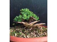 Quality Mame size Procumbens Juniper Bonsai