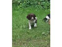 Springer spaniel puppy's