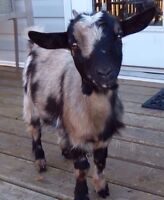 Looking to breed my female goat